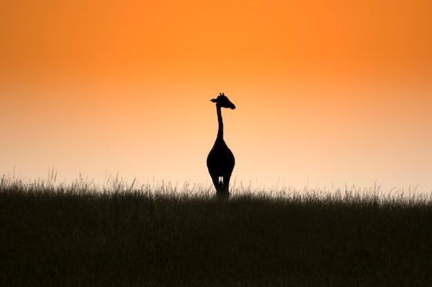 キリンと美しいオレンジ色の日の出。マーチソン国立公園が落ちる。ウガンダ。アフリカ