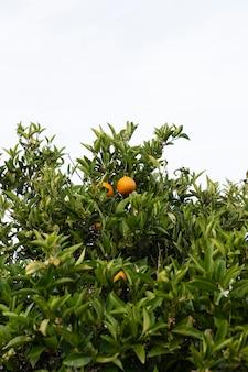 잘 익은 과일과 함께 아름 다운 오렌지 나무