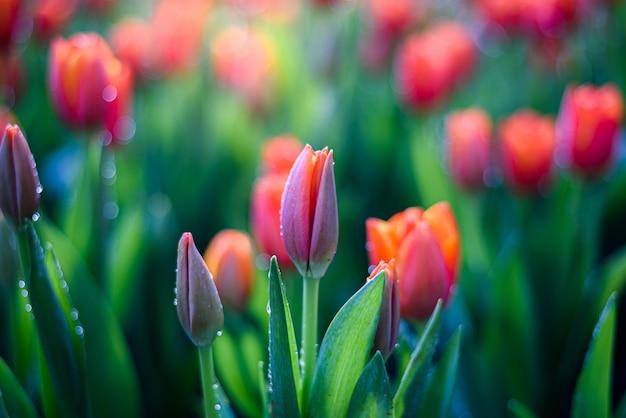 庭の水滴と美しいオレンジ色のチューリップの花