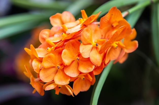 장마철에 피는 아름다운 난초 꽃. 반다 난초과