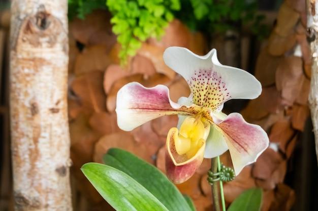 집에서 보라색과 흰색 색상의 아름다운 난초 꽃