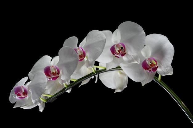 Beautiful orchid flower with black background