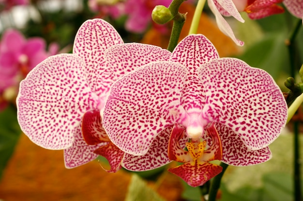 Beautiful orchid  phalaenopsis