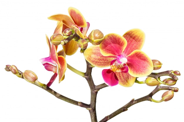 Beautiful  orchids of different colors. phalaenopsis hybrids.