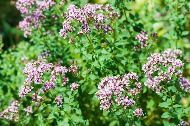 정원에서 재배된 아름다운 오레가노 꽃