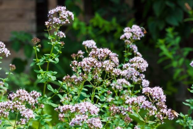 여름 정원에 있는 아름다운 오레가노 꽃.