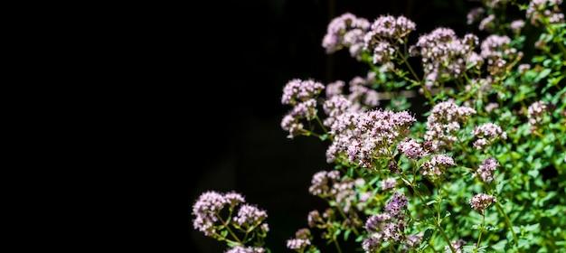 Beautiful oregano flowers isolated on black background