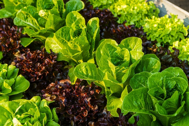 Beautiful organic butterhead ,mini cos, green and red oak lettuce or salad vegetable garden on the soil growing,harvesting agricultural farming.