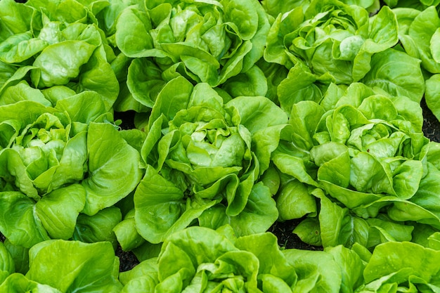 Beautiful organic green butterhead lettuce or salad vegetable garden on the soil growing,harvesting agricultural farming.