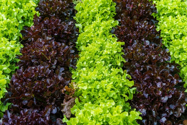 Beautiful organic green and red oak lettuce or salad vegetable garden on the soil growing,harvesting agricultural farming.
