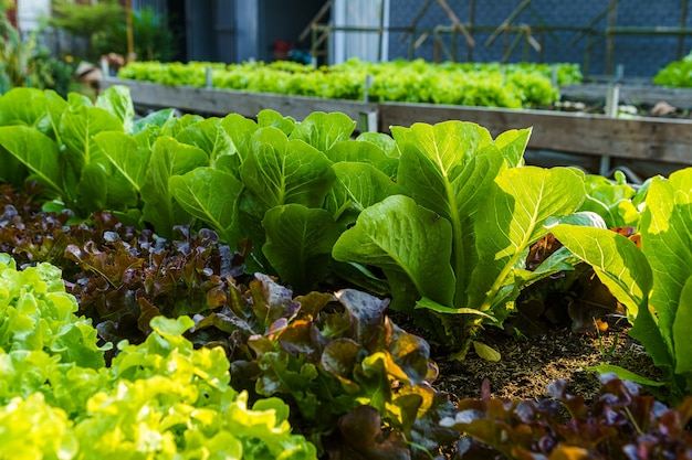 Beautiful organic mini cos,green and red oak lettuce or salad vegetable garden on the soil growing,harvesting agricultural farming.