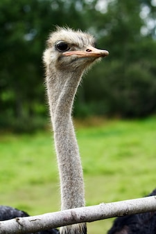Beautiful ostrich