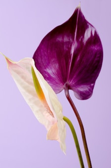Beautiful pair of purple and pink anthurium flowers. minimalistic.