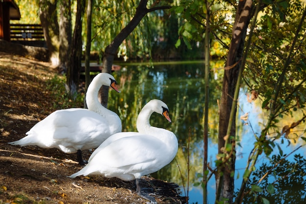 A beautiful pair of white swans.