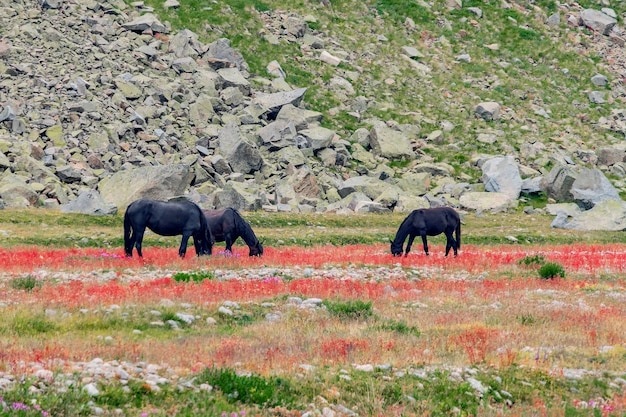 Beautiful panorama of high rocky mountains and green meadows with blooming red flowers in the foreground and grazing horses