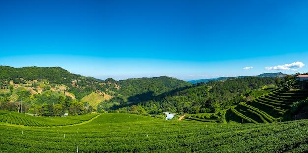 高原の風光明媚な美しいパノラマ風景茶畑。 doi mae salong、チェンライ、タイ。