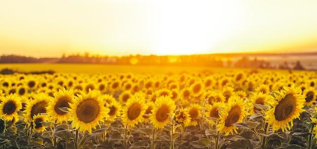 Красивый панорамный вид на поле подсолнухов в свете заходящего солнца. желтый подсолнух заделывают.