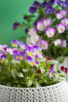 Beautiful pansy summer flowers in flowerpots in garden