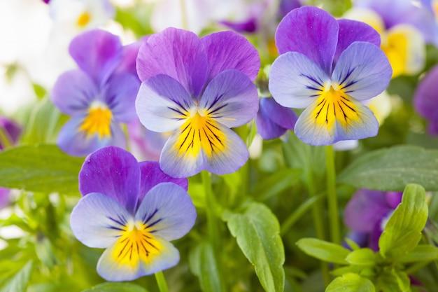 Красивые анютины глазки летние цветы в саду