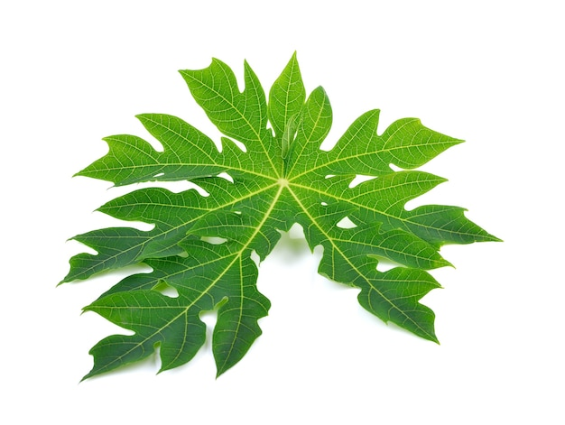 白地に美しいパパイヤグリーンの葉