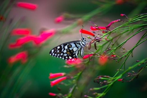 美しいアゲハチョウまたは一般的なライムまたは花の植物で休んでいる市松模様のアゲハチョウ