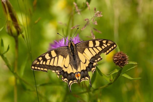 Bellissima farfalla papilio machaon che raccoglie il nettare dal fiore
