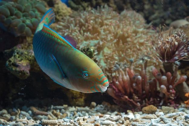 Красивая рыба-попугай с красочными телами