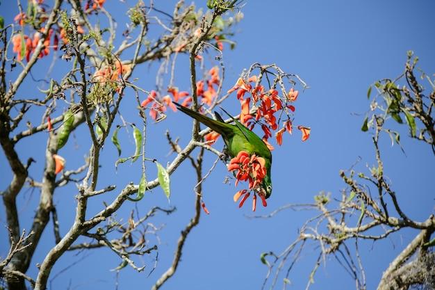 브라질의 겨울에 먹이를 주는 나무에 있는 아름다운 앵무새