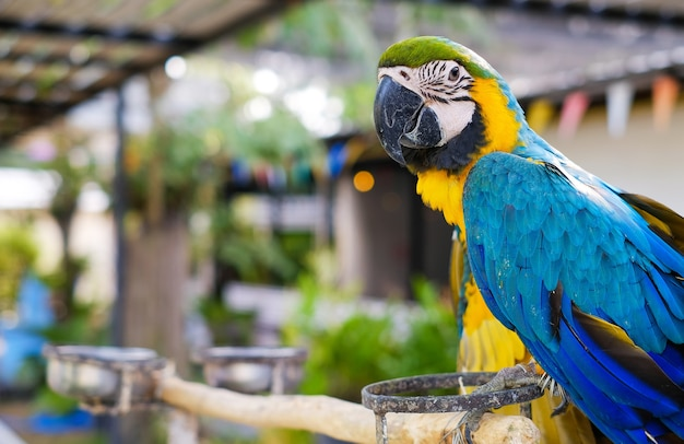 아름다운 앵무새는 농장에서 새 음식을 먹고 있습니다. 블루 잉 꼬 선택적 초점입니다. 프리미엄 사진