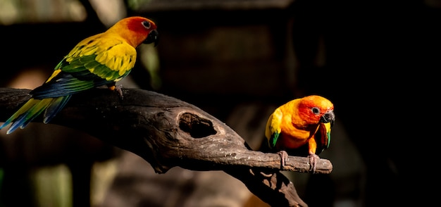 Beautiful parrot, sun conure on tree branch