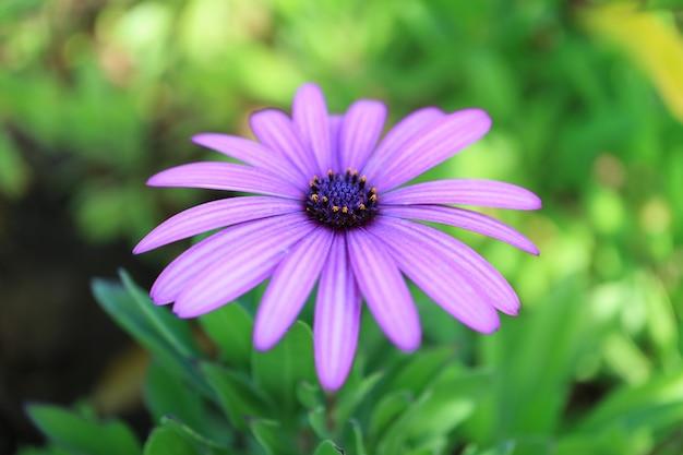 Beautiful pastel purple daisy flower on easter island of chile