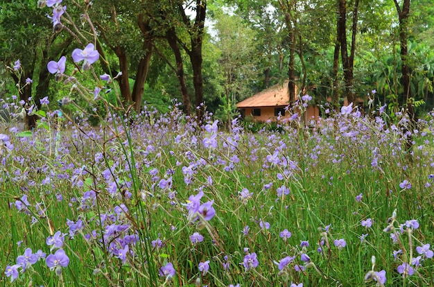 Beautiful pastel purple murdannia flower field with a tiny cottage in background, thailand
