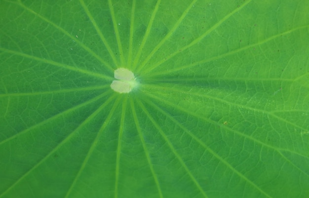 Beautiful pattern of a vibrant green lotus leaf surface