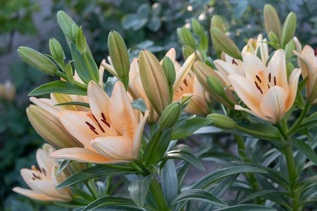 Beautiful peach lilies with buds on bush in garden