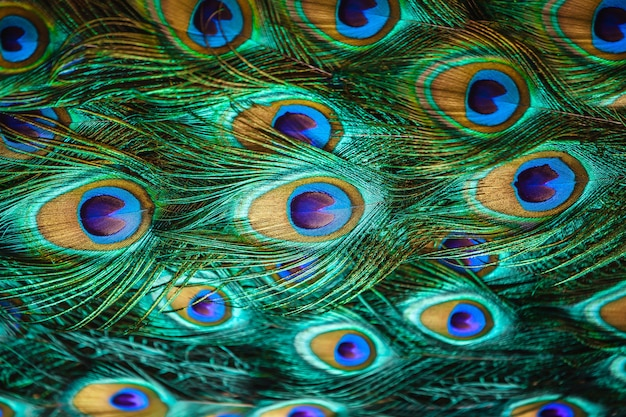 クローズアップで美しい孔雀の鳥の尾の羽
