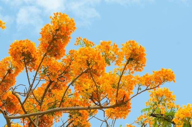 Beautiful peacock flowers with blue sky, thailand