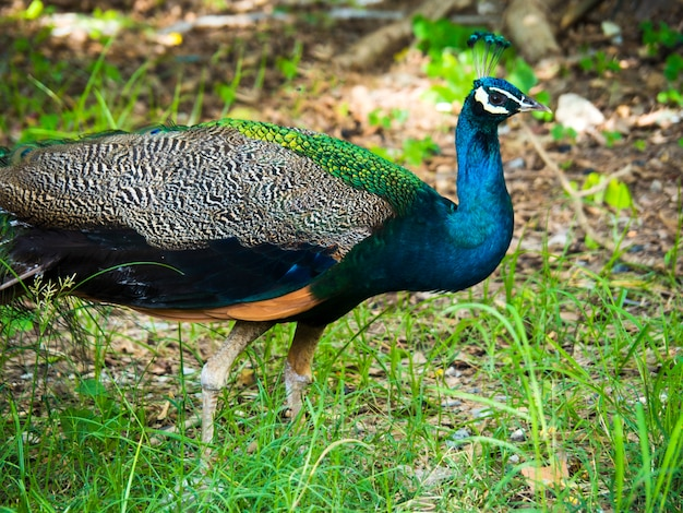 Beautiful peacock in natural with garden background
