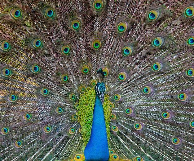 カラフルな尾を持つ美しい孔雀