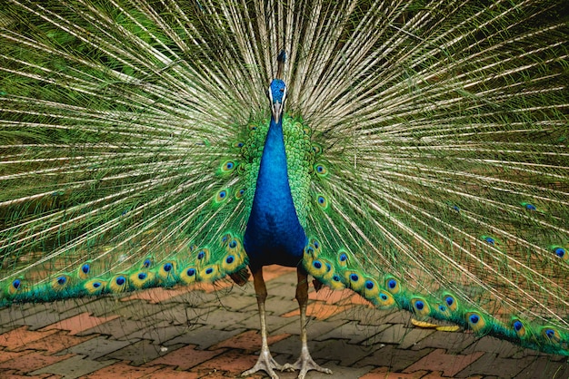 Beautiful peacock with spread wings. zoo, tropical reserve