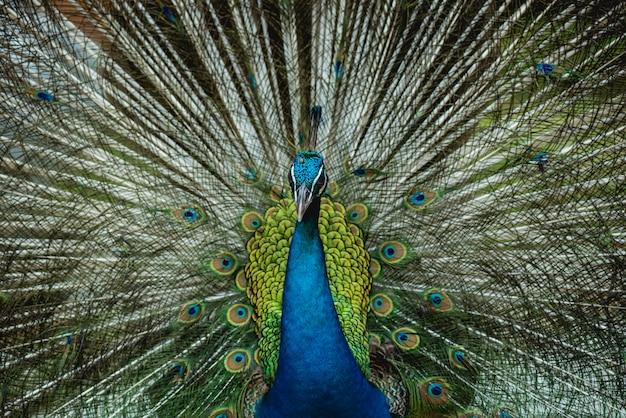翼を広げた美しい孔雀。動物園、熱帯保護区