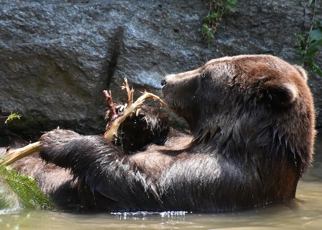 Красивый полуостровный медведь купается в дикой природе, держа ветку дерева