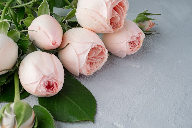 Beautiful peony - shaped bushy pink roses. valentine's day, the concept of love and loyalty. copy space.