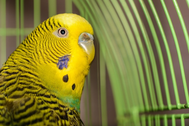 The beautiful pet wavy parrot is brightly green-colored. green, yellow and blue budgie australian parrot sitting in cage. cute budgie close-up and copy space.