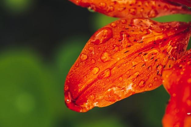 매크로에서 붉은 오렌지 피 릴리의 아름 다운 꽃잎.