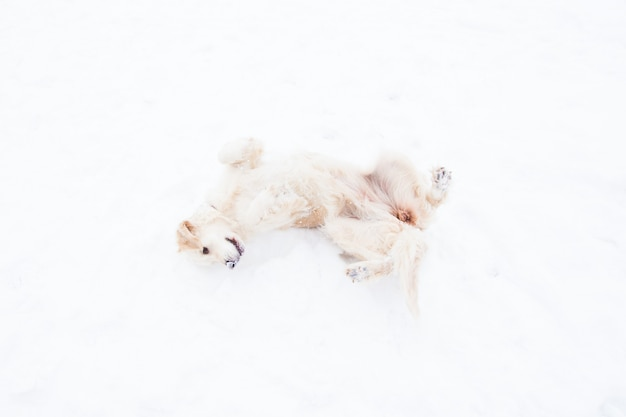 Beautiful pets - big golden retriever having fun on a winter walk in a snow-covered park