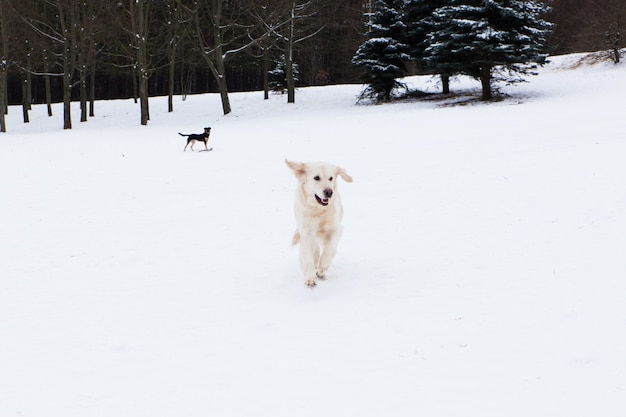 Beautiful pets, big golden retriever having fun on a winter walk in a snow