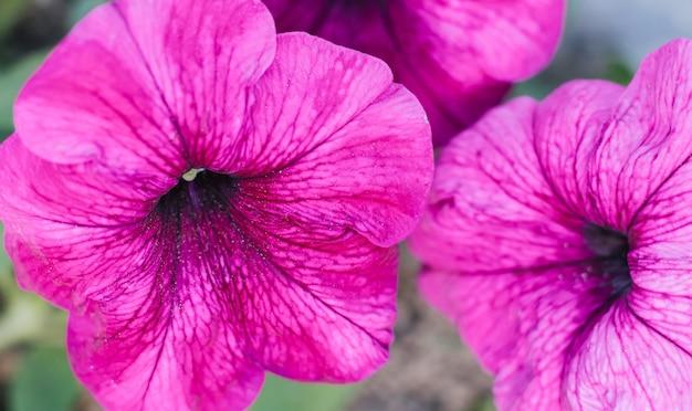 美しいペチュニアの花。花壇のピンクの花。花のクローズアップ。