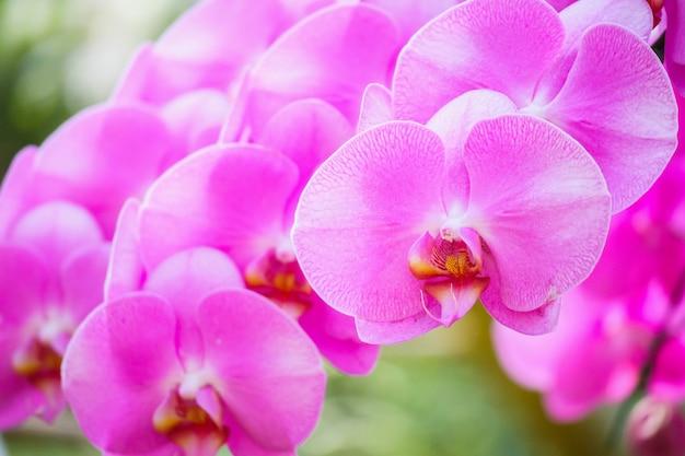 정원 꽃 배경에서 피는 아름다운 phalaenopsis 난초 꽃