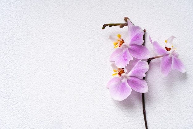 아름 다운 phalaenopsis 난초 꽃 꽃, 흰색 표면에 조롱