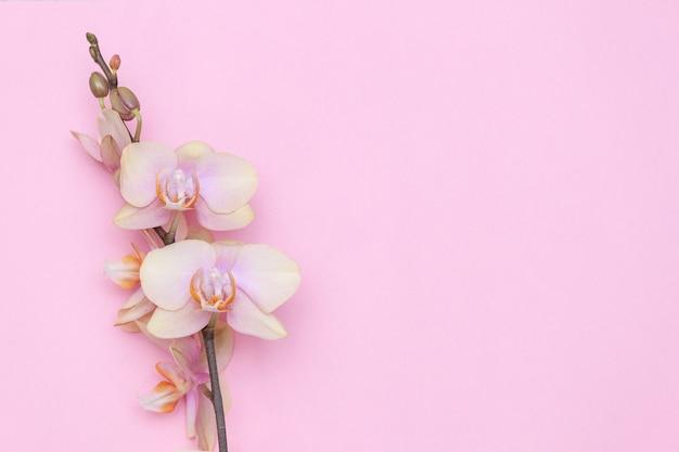 파스텔 핑크 바탕에 아름 다운 phalaenopsis 난초 꽃